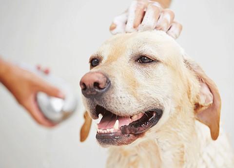Um bom banho com sabonete antipulgas