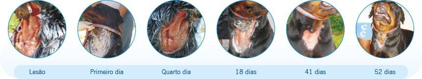 Cão Rottweiler ferido tratado com Kuraderm