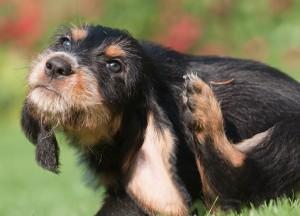 Coceira em cachorros é o principal indício de que algo não vai bem com a saúde da pele.