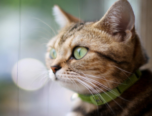 Coleira antipulgas para gatos