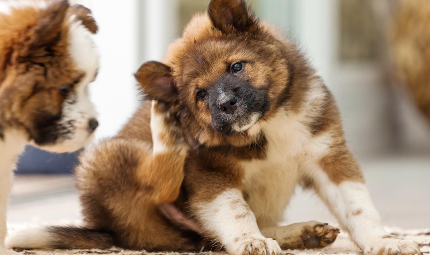Dermatites caninas: saiba mais sobre as doenças de pele e pelo em cães